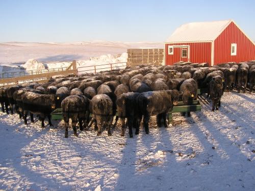 heifers eating grain