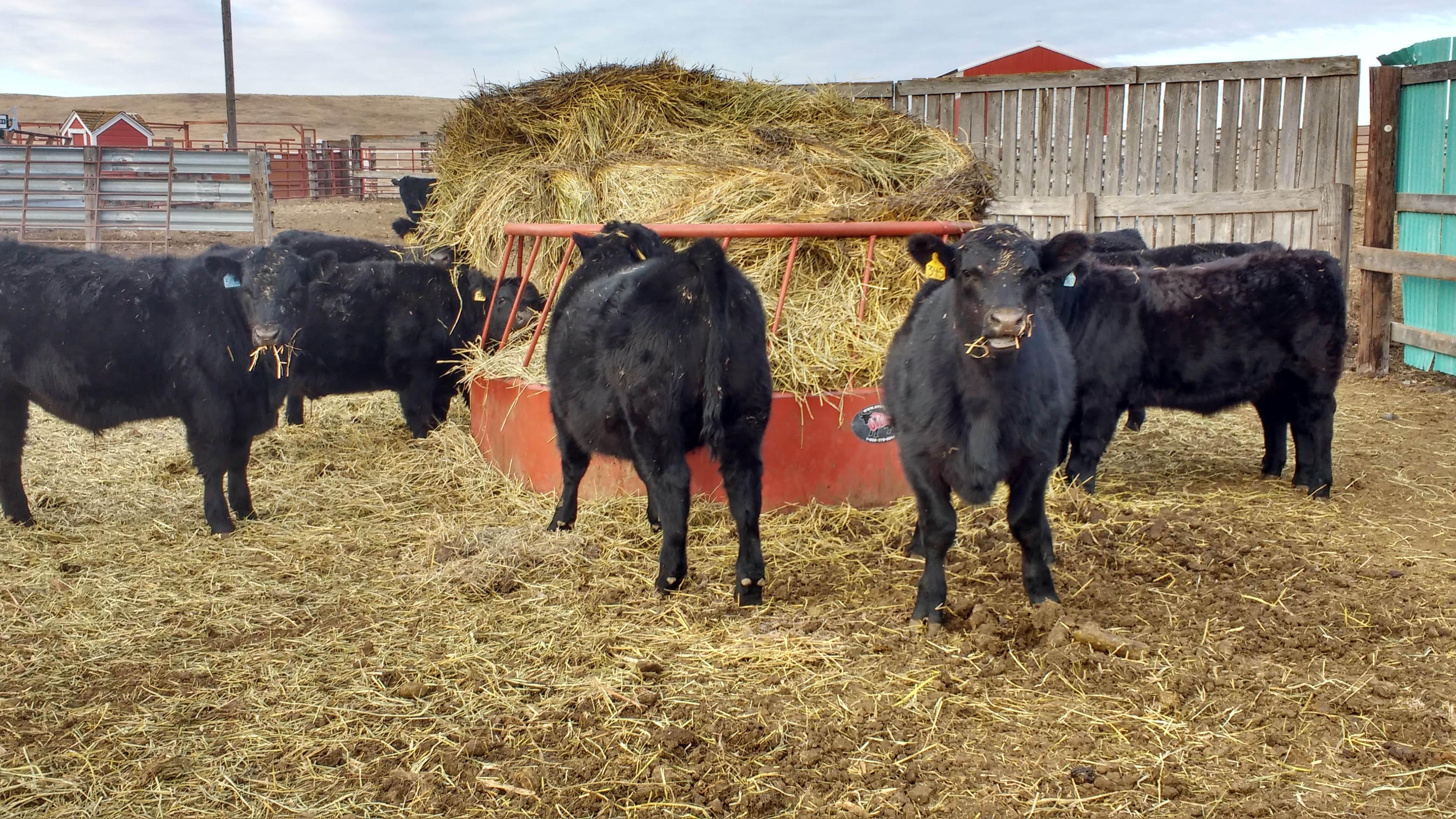 2017 steer calves at weaning