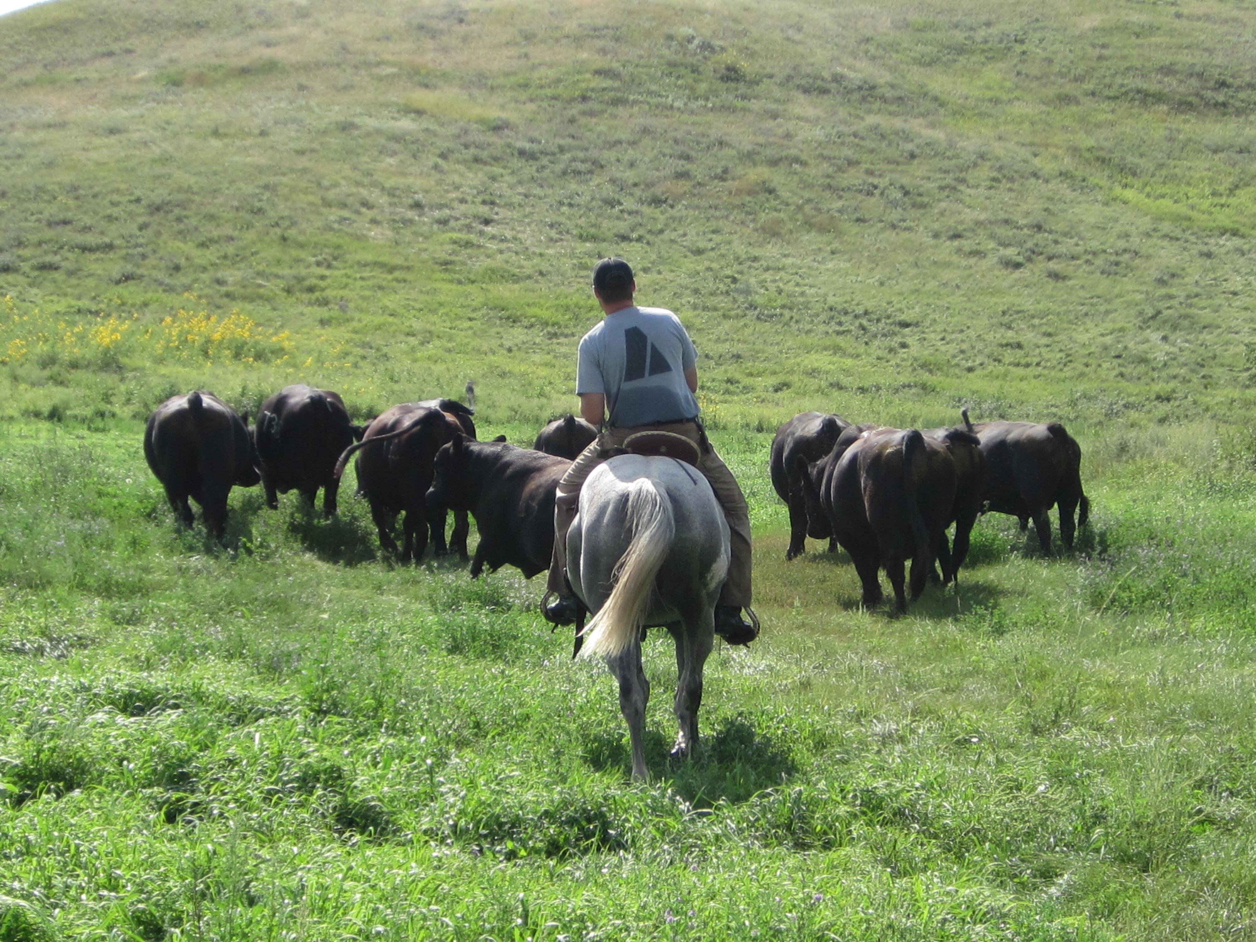 Sorting bulls